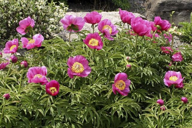 Les pivoines créent tout un spectacle lorsqu'elles fleurissent,... (www.jardinierparesseux.com)