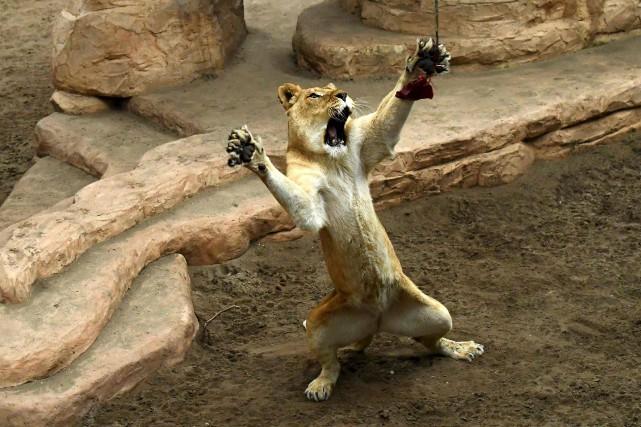Une lionne attrape un morceau de viande lors... (AFP, John Thys)