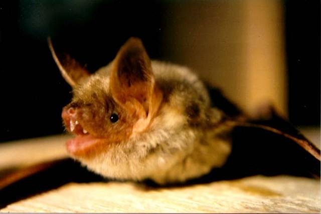 Le grand murin,une espèce de chauve-souris européenne, a... (PHOTO WIKICOMMONS)