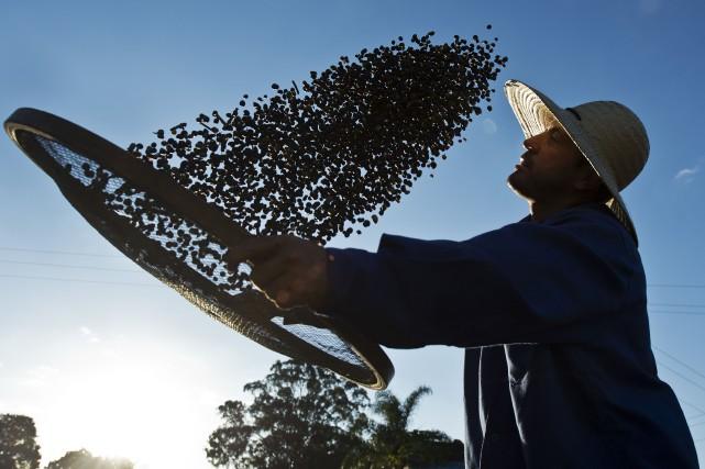 Les meilleurs cafés sont aussi les plus menacés:... (Photo AFP)