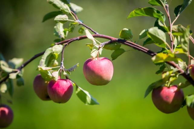 Beaucoup de gens aiment les pommes, qu'ils cueillent eux-mêmes dans l'un des... (Photo Olivier Jean, La Presse)