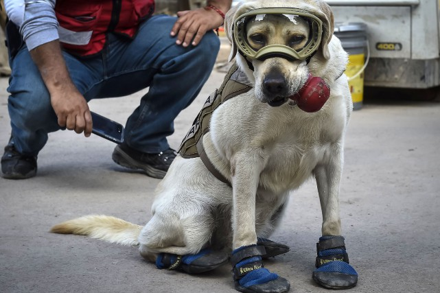 Frida, un labrador couleur miel, assume la délicate... (PHOTO OMAR TORRES, AFP)