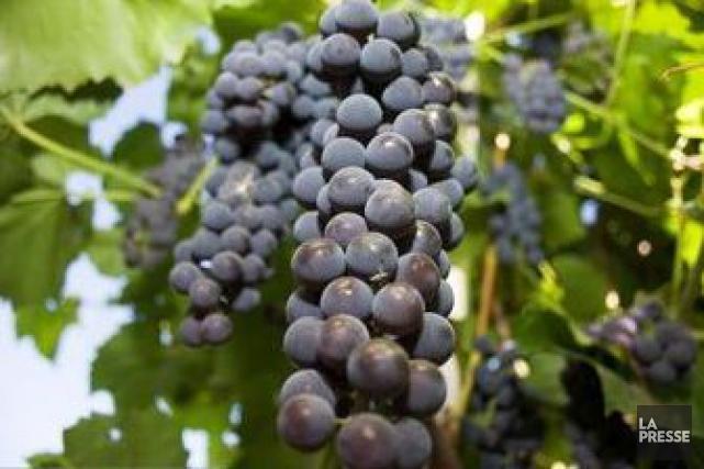 Au moins sept tonnes de raisins ont été volées sur pied dans les vignobles du... (PHOTO ARCHIVES LA PRESSE)