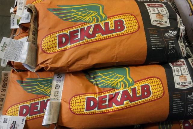 Des semences de maïs de Monsanto.... (AP)