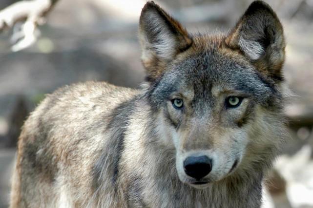 Le terme«loup solitaire» s'avère utile pour une société... (ARCHIVES AP)