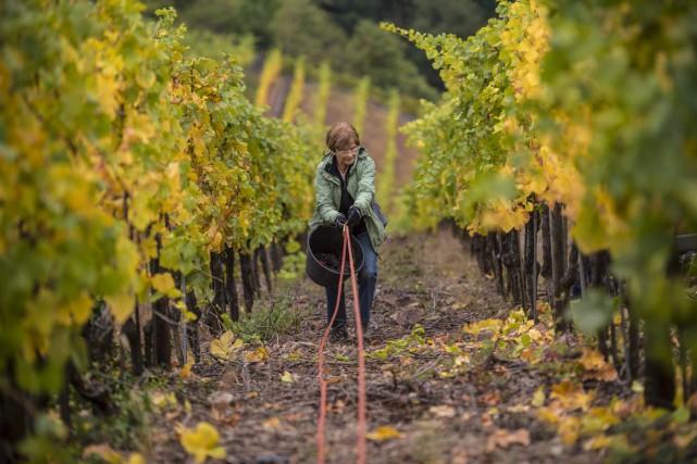 «La vigne a un potentiel de résistance à... (PHOTO ARCHIVES AFP)