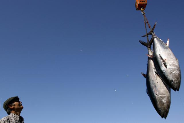 La reconstitution en cours de la population de thon rouge connaîtra un coup... (PHOTO ARCHIVES AFP)