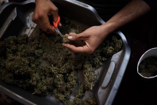 Une coopérative de 13producteurs decannabis proposedemettre sur pied... (PHOTO ARCHIVES THENEW YORK TIMES)