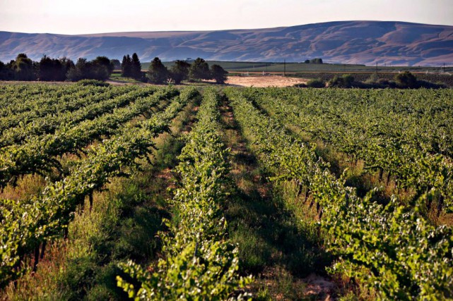 L'appellation Columbia Valley englobe presque toutes les vignes qui... (photo bloomberg news)