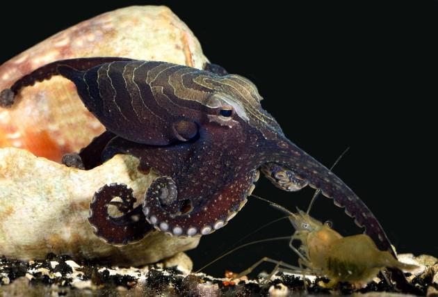 Les poulpes peuvent rapidement modifier la texture de... (ARCHIVES AP)