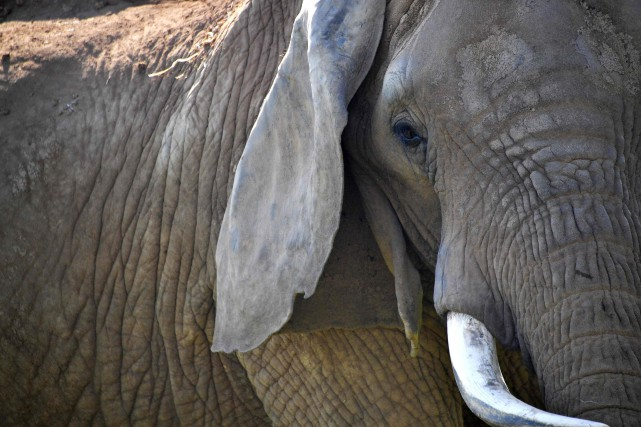 Selon un récent rapport, la population des éléphants... (Photo LOIC VENANCE, AFP)