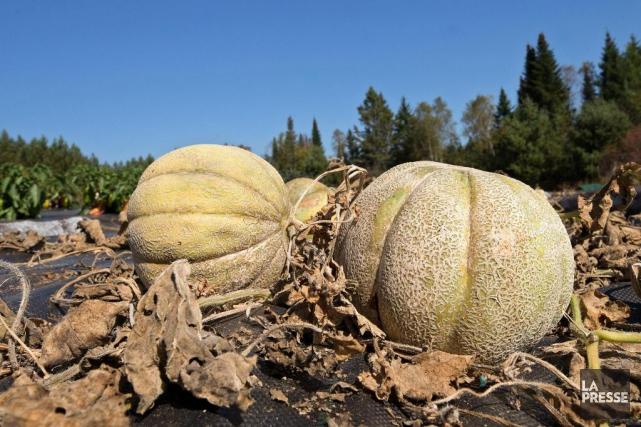 Ce melon brodé (comme le cantaloup) serait plus... (PHOTO ROBERT SKINNER, LA PRESSE)