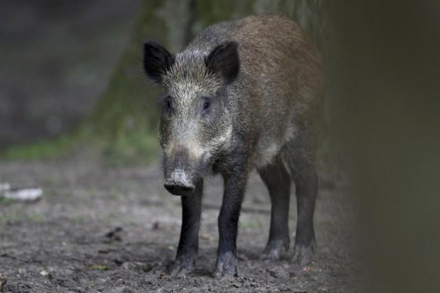 Au Québec, il est interdit de chasser le... (PhotoJOEL SAGET, archives Agence France-Presse)