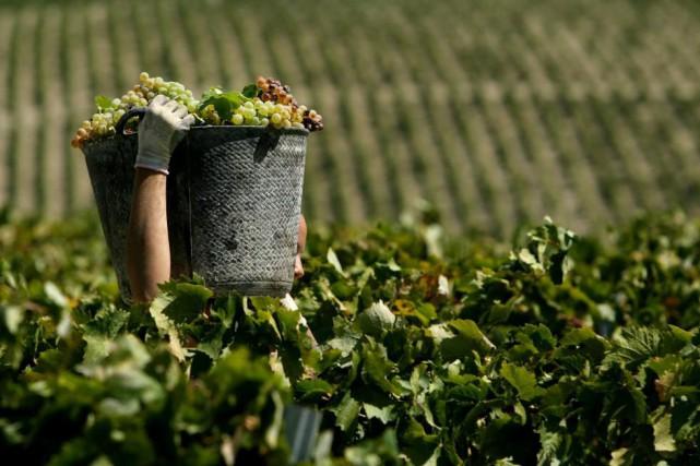 Troisième pays qui produit le plus de vin... (photoJOSE LUIS ROCA, archives agence france-presse)