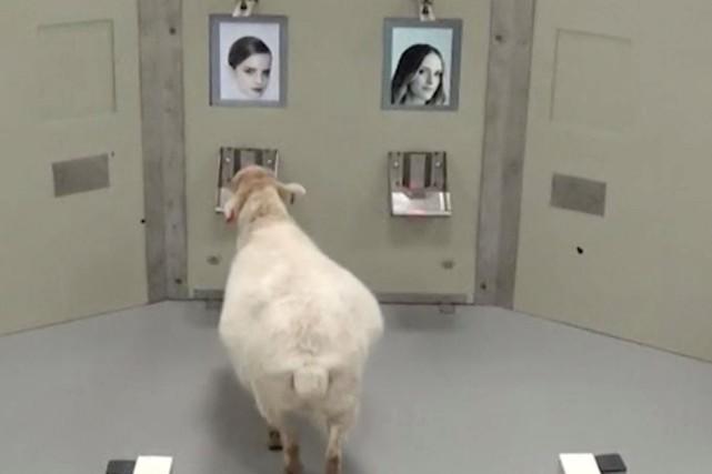 Les moutons avaient droit à une récompense (de... (PHOTO REUTERS)