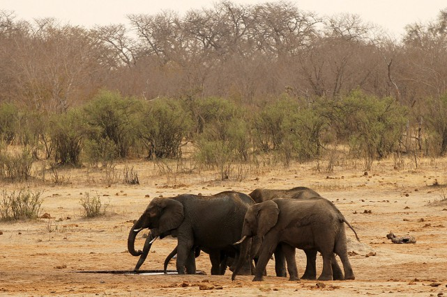 Selon l'organisation Great Elephant Census, le nombre de... (PHOTO PHILIMON BULAWAYO, ARCHIVES REUTERS)