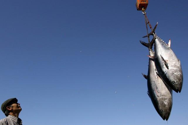 Le stock actuel de thons rouges adultes est... (ARCHIVES AFP)