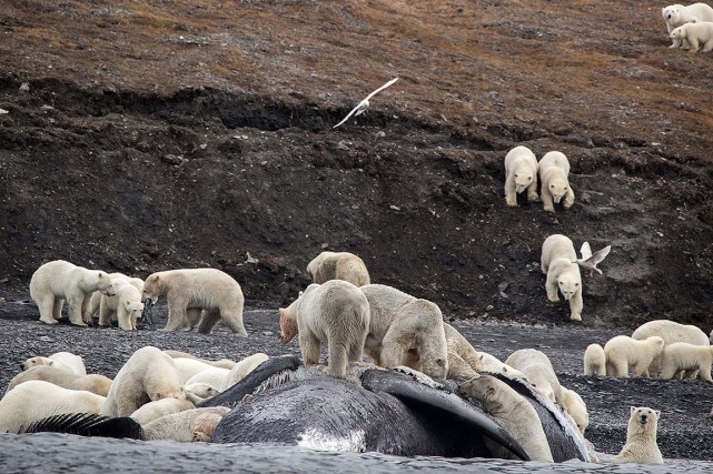 Les ours polaires s'étaient rassemblés au bord de... (Max STEPHENSON, HO, AFP)