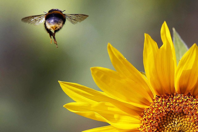 Une abeille survole un champ de tournesols, en... (Michael Probst, archives AP)