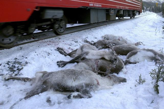 En tout, 106 rennes qui ont été tués... (PHOTO AP)