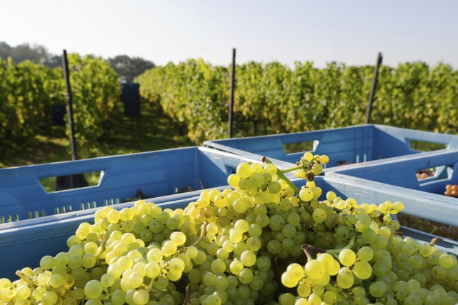 La récolte du chardonnay en Belgique.... (PHOTO THINKSTOCK)