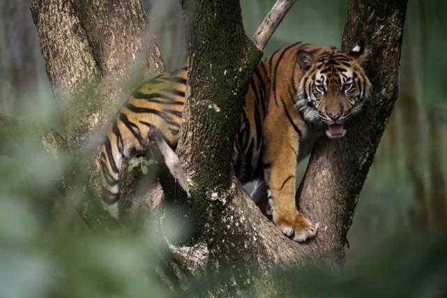 Entre 1990 et 2010, Sumatra a vu disparaître... (ARCHIVES AP)