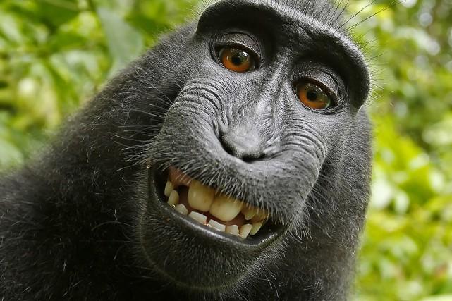 En 2011, le singe a dérobé l'appareil photo... (David Slater, via AP)