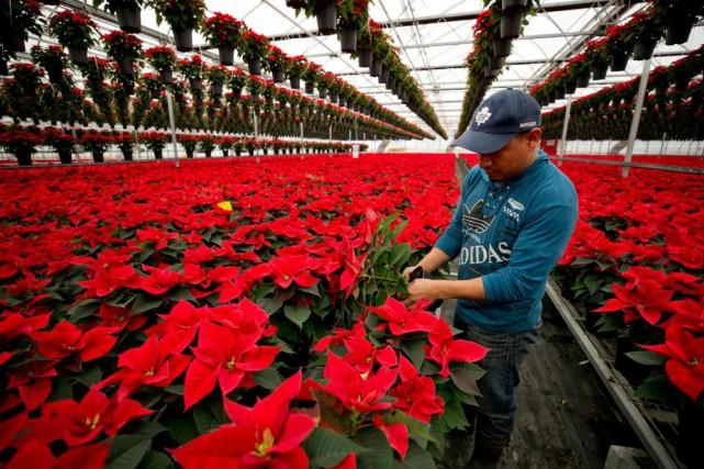 Plantés en juillet, les poinsettias sont coupés pour... (Photo David Boily, La Presse)