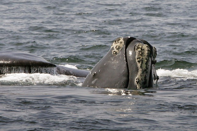 La baleine noire de l'Atlantique Nord est une... (PHOTO Stephan Savoia, archives Associated Press)