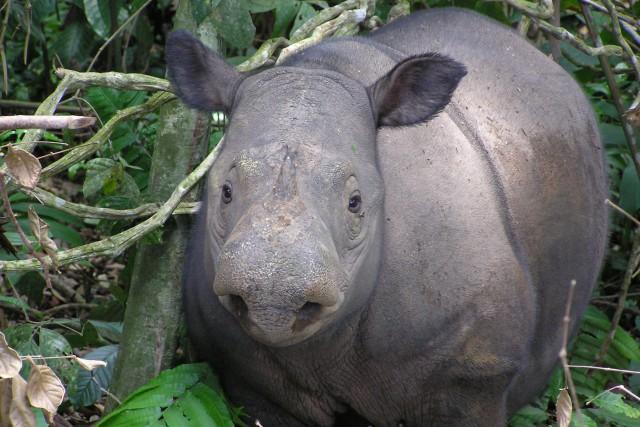 Le rhinocéros de Sumatraest la plus petite des... (ARCHIVES AFP)