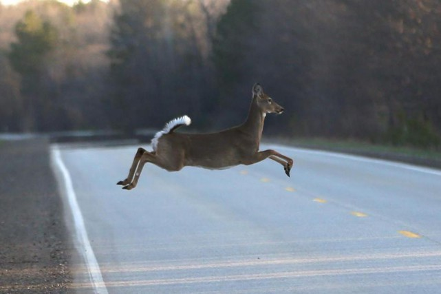 Un chevreuil traverse une route en bondissant. Le... (photo carlos osorio, archives associated press)