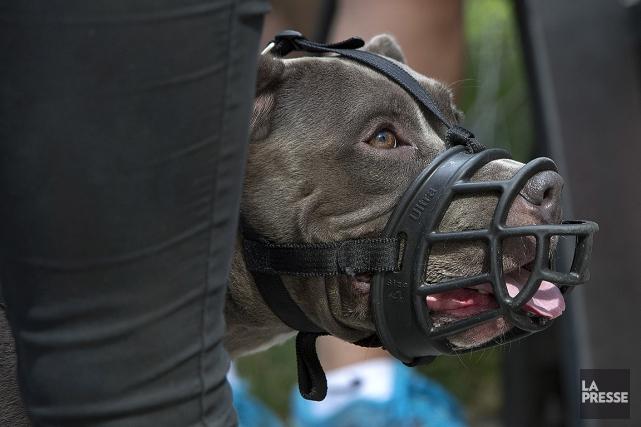 Les chiens de type pitbull seront désormais considérés... (ROBERT SKINNER, ARCHIVES LA PRESSE)