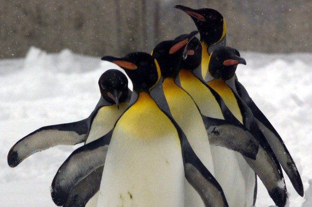 Les manchots royaux sont habitués aux températures froides,... (REUTERS)