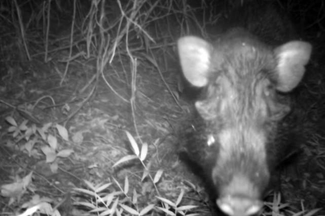 Un cochon verruqueux de Java... (AFP)