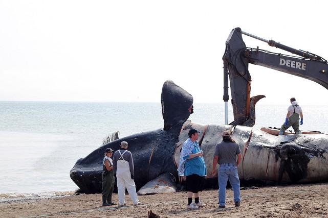 Une baleine noire retrouvée morte sur les berges... (David Caron, archives Acadie Nouvelle)