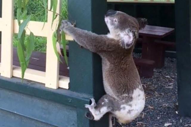 Les koalas, marsupiaux emblématiques du vaste pays-continent, sont... (PHOTO AFP)