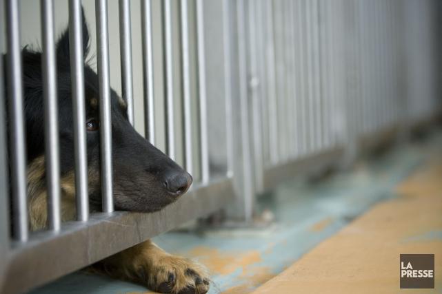Les autorités ont précisé que les chiens infectés,... (PHOTO DAVID BOILY, ARCHIVES LA PRESSE)