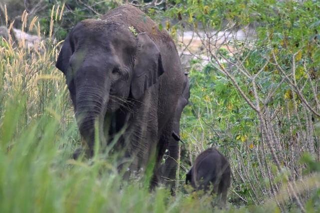 Une éléphante de Sumatra et son petit.... (Photo Agence France-Presse)