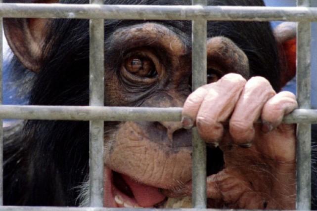 Un chimpanzé dans un laboratoire (sans lien avec... (photo : REUTERS)