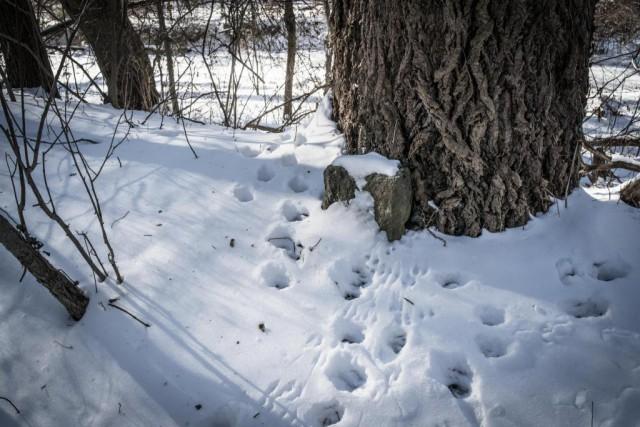 Des traces de pas dans la neige montrent qu'un animal est passé près du... (Photo Thinkstock)