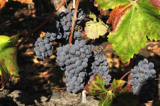 Dans la vallée de Napa (photo), les viticulteurs... (ARCHIVES REUTERS)