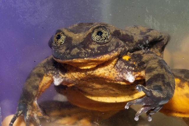 Romeo est la dernière grenouille aquatique de Sehuencas.... (Matias Careaga, Global Wildlife Conservation, AFP)