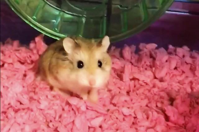 Le hamster Pebbles était l'animal de «soutien émotionnel»... (Photo AP)
