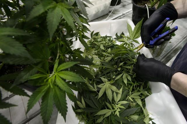 Легальная продажа марихуаны в Канаде начнется  не раньше  августа 2018 года