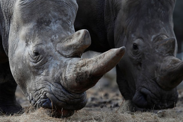 Le sperme de rhinocéros blanc du Nord mâles... (PHOTO ARCHIVES REUTERS)