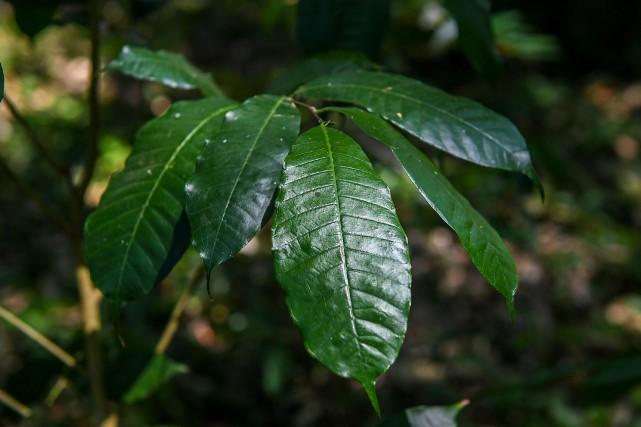 Cet arbre aux feuilles persistantes, qui équilibre les... (Photo Luis Acosta, Agence France-Presse)