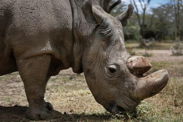 Nommé Sudan, le rhinocéros souffrait depuis longtemps de... (PHOTO AFP)