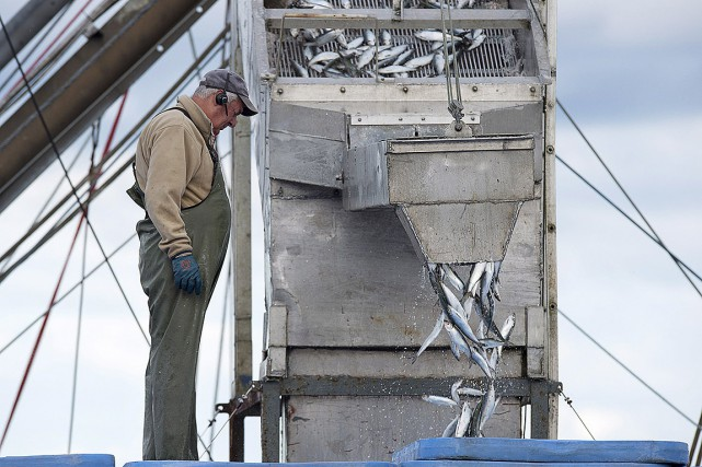 Les stocks de harengs sont en baisse depuis... (Andrew Vaughan, archives PC)