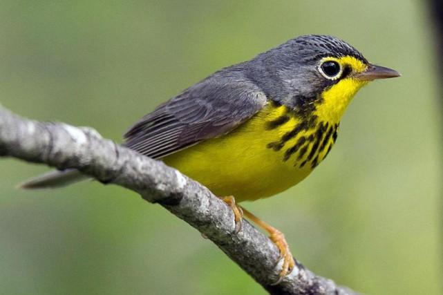 La Paruline... (Photo tirée de la Macaulay Library,Cornell Lab of Ornithology)
