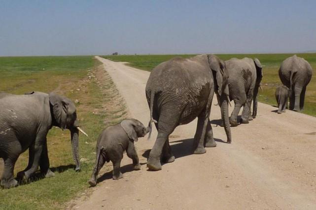 Une famille d'éléphants dans le parc d'Amboseli, non... (Photo Pierre Gingras, La Presse)
